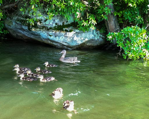 Photo of mallard mom and chicks