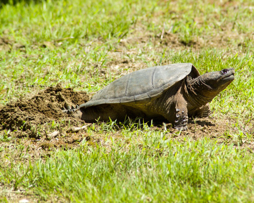A snapping turtle lays her eggs