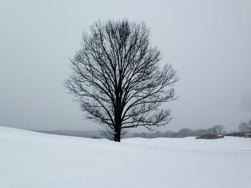 Lone tree on snow-covered golf course