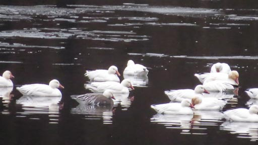 Group of snow geese floating on pond