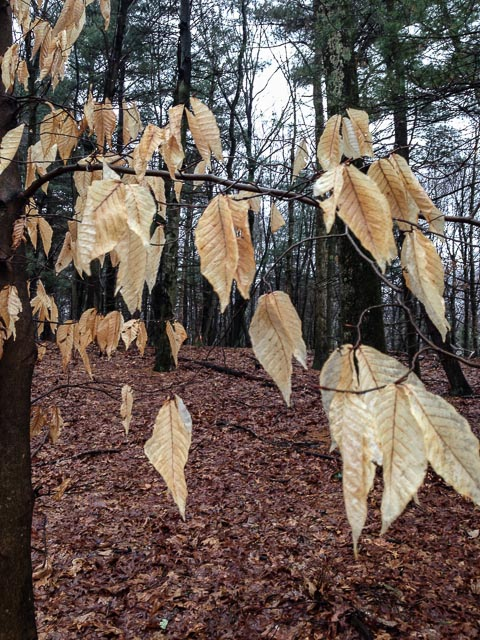 Photo of a beech With persistent leaves