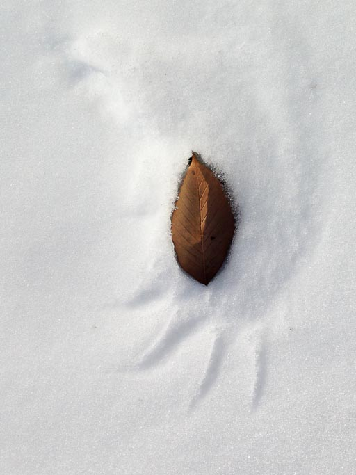 Photo of the impression made by a bird's wingtip in snow with a leaf in the impression