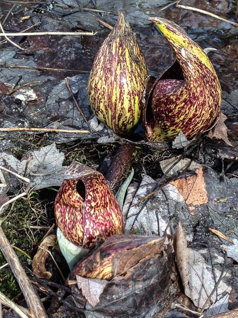 Photo of skunk cabbage in bloom