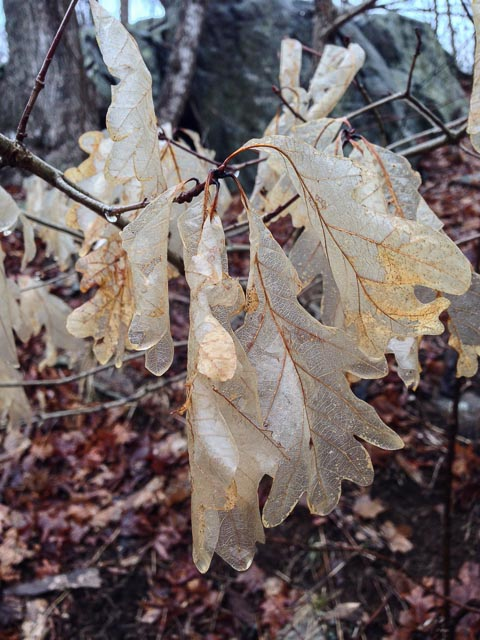 Photo of a white oak with persistent leaves