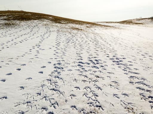 Geese tracks in the snow