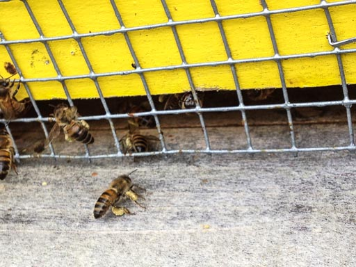Photo of bees at the entrance to their hive entering and exiting
