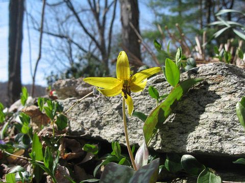 Photo of a trout lily in bloom