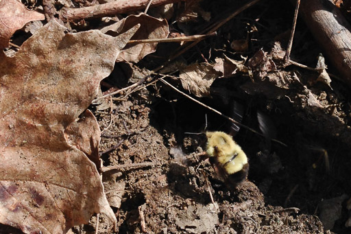 Photo of queen bumble bee emerging from the entrance hole to her underground nest