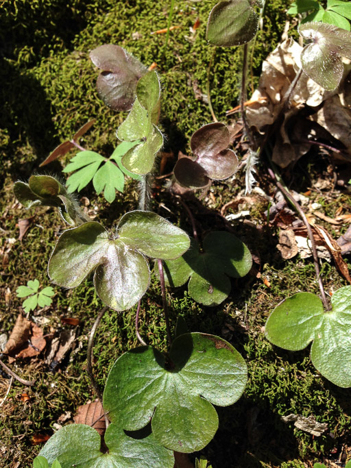 Photo of round-lober hepatica leaves