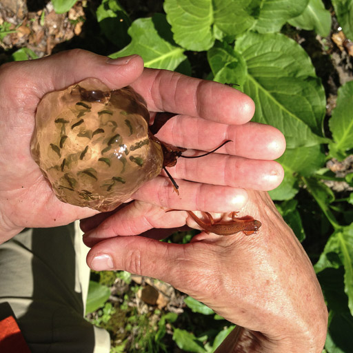 Photo of woman's hands holding a red eft and a spotted salamander egg mass.