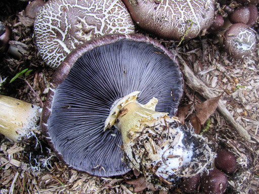 Photo of a group of winecap mushrooms growing in wood chips.