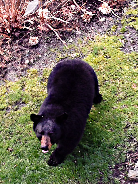 Photo of a black bear on the ground in a garden.