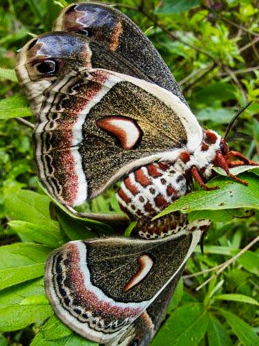 Photo of two cecropia moths on a leaf, mating