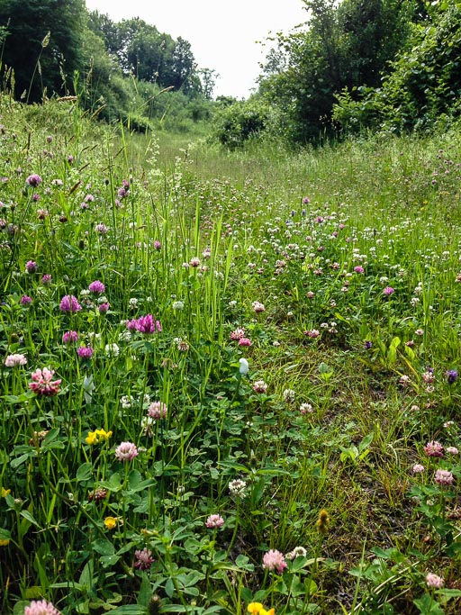 Photo of a footpath through a meadow in full bloom