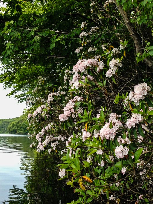 Photo of blooming mountain laurel leaning over the water of White Pond