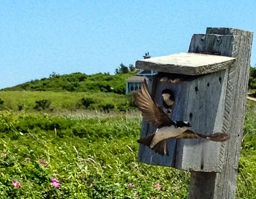 Photo of adult tree swallow demonstrating flight to nestlings looking out of a birdhouse