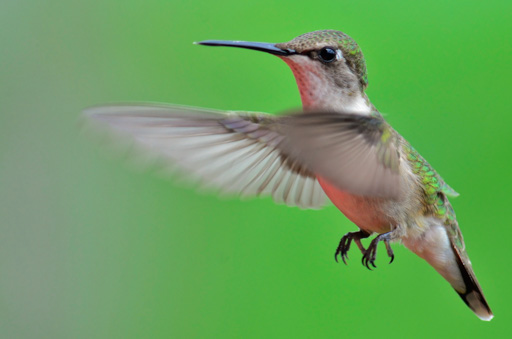 'Ruby-Throated Hummingbird in flight' by Gareth Rasberry - Own work. Licensed under Creative Commons Attribution-Share Alike 3.0 via Wikimedia Commons - http://commons.wikimedia.org/wiki/File:Ruby-Throated_Hummingbird_in_flight.jpg#mediaviewer/File:Ruby-Throated_Hummingbird_in_flight.jpg
