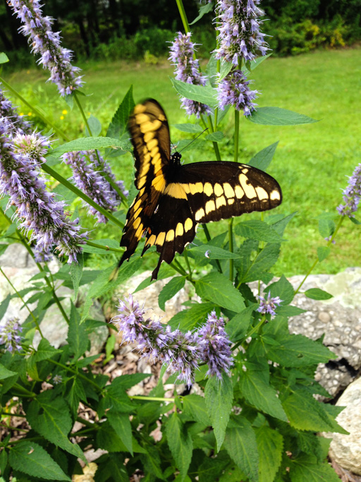 Photo of a giant swallowtail butterfly giant swallowtail (Papilio cresphontes)