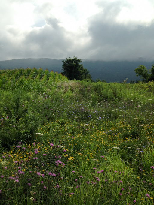 Photo of a flower-dotted meadow in late summer with rows of corn in the distance. In the background low clouds hug the hills