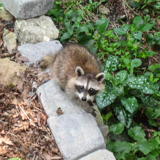Photo looking down on a raccoon kit