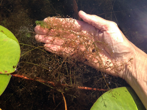 Photo of the underwater part of the common bladderwort resting in a person's hand