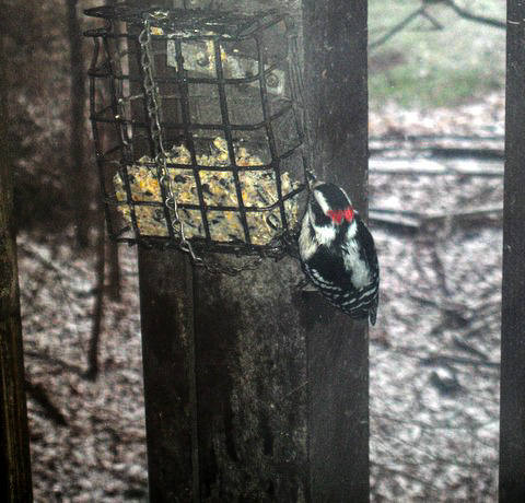 Photo of a downy woodpecker (Dryobates pubescens) at a suet feeder