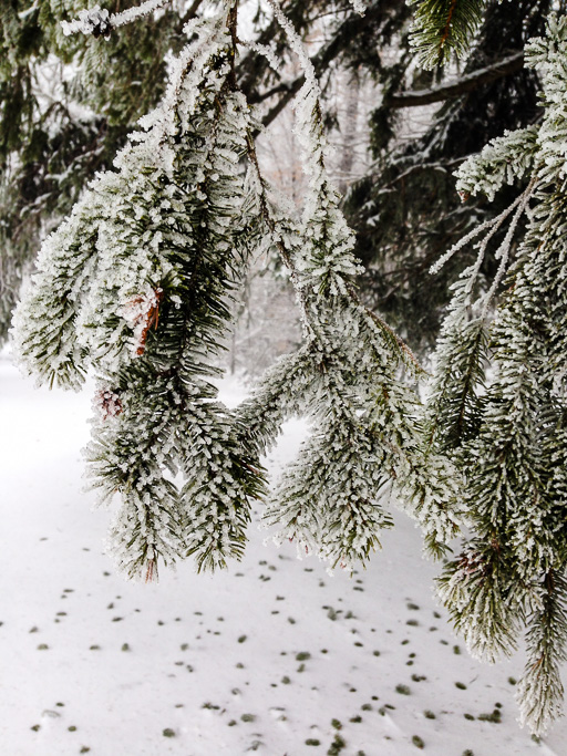 Photo of spruce branches with each needle frosted by ice