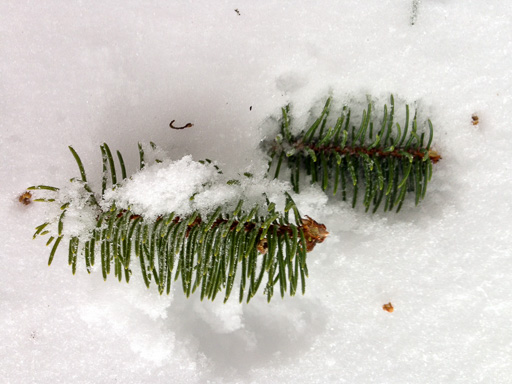 Photo of spruce branch-tips bitten off by squirrels