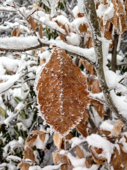 Photo of a beech leaf clinging to its branch despite an icy coating