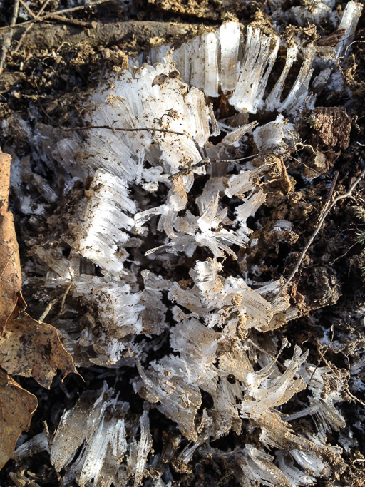 Photo of needle ice in the forest floor