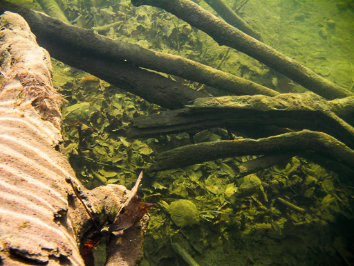 Underwater photo of hibernating wood turtles