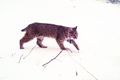 Photo of a bobcat crossing the snow