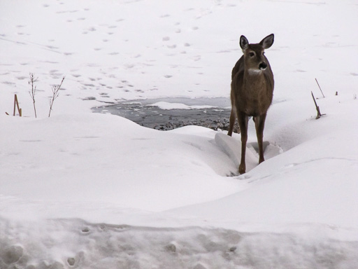 Photo of a yearling doe standing in snow next to an open patch of water at the edge of a lake