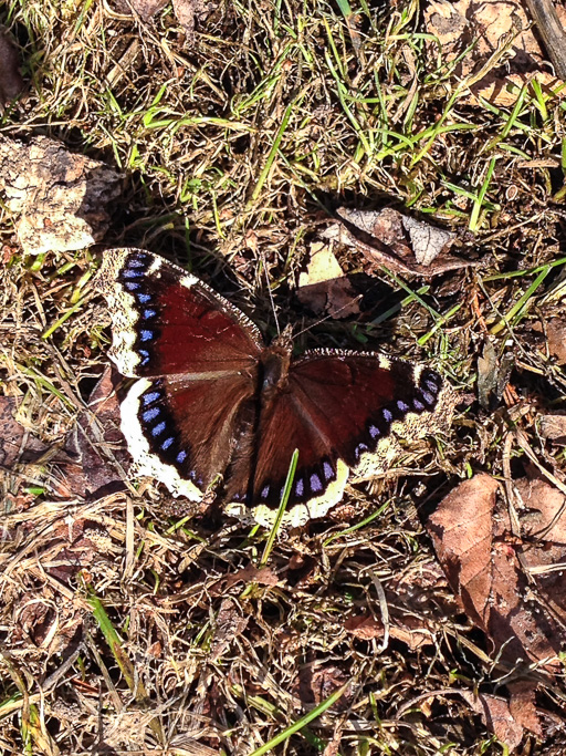 Photo of newly emerged mourning cloak butterfly (Nymphalis antiopa) sunning its wings