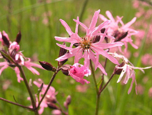 Photo of ragged robin in bloom. Copyright 2005 by Guido Gerding http://creativecommons.org/licenses/by-sa/3.0/