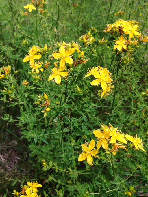 Photo of St John's wort (Hypericum perforatum) in bloom