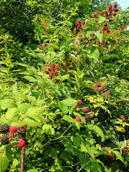 Photo of wineberries (Rubus phoenicolasius) and black raspberries (Rubus occidentalis)