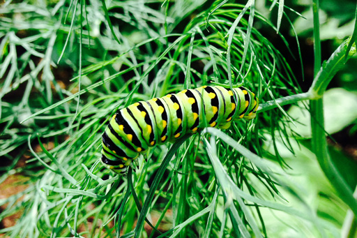Photo of black swallowtail butterfly caterpillar feasting on dill