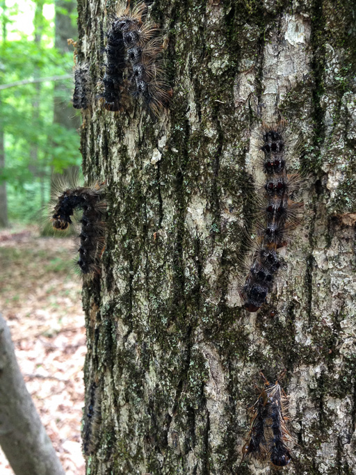 Photo of dead gypsy moth caterpillars on a tree trunk