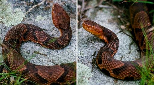 Two photos of a copperhead snake (Agkistrodon contortrix mokasen), dorsal and lateral views