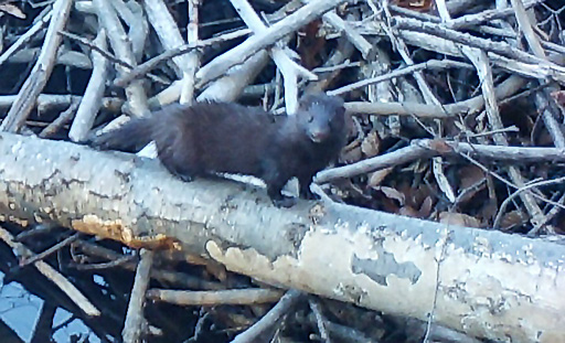 Photo of mink on a beaver lodge.