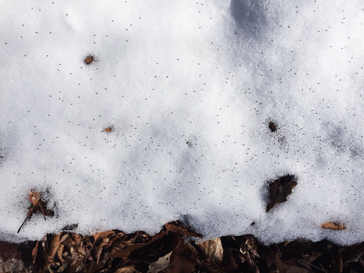Photo of small patch of thin snow covered with tiny snow fleas
