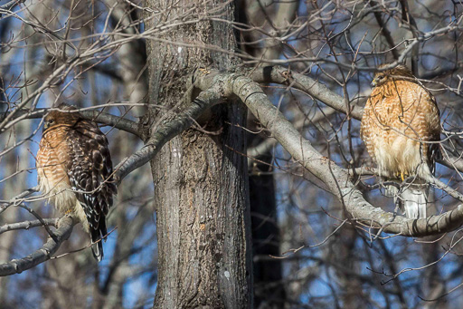 Photo of two red-shouldered hawks in a tree, all fluffed up against the intense cold