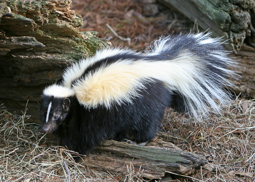 Photo of a striped skunk (Mephitis mephitis)