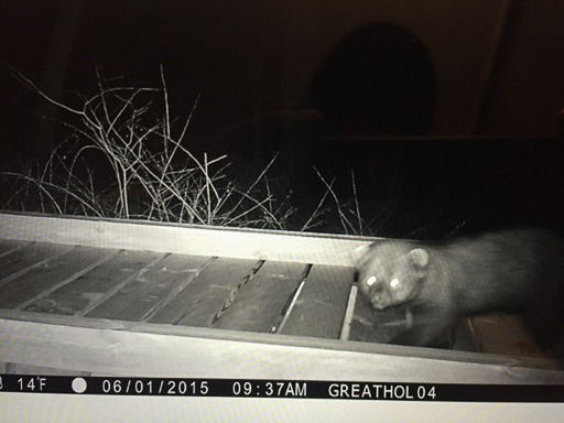 Trail cam photo of a fisher (Martes pennanti) crossin a wooden foot-bridge