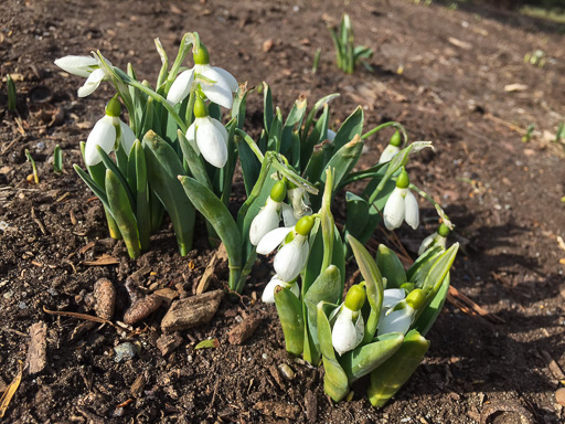 Photo of blooming snowdrop plants