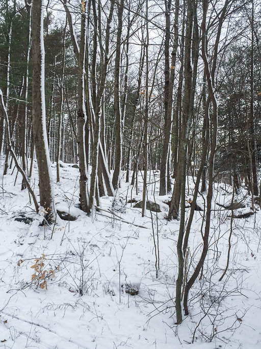 Photo of snowy woods with snow blown on sides of trunks
