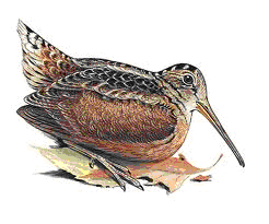 Drawing of an American woodcock sitting on an oak leaf