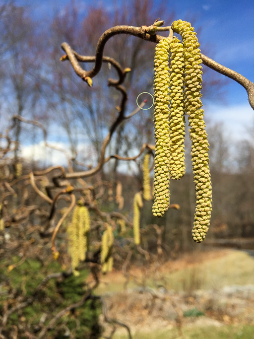 Photo of hazel catkins on a branch. The photo has a small circle drawn on it indicating the location of the tiny female flower