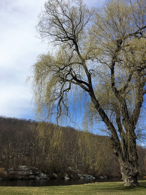 Photo of weeping willow tree in early spring